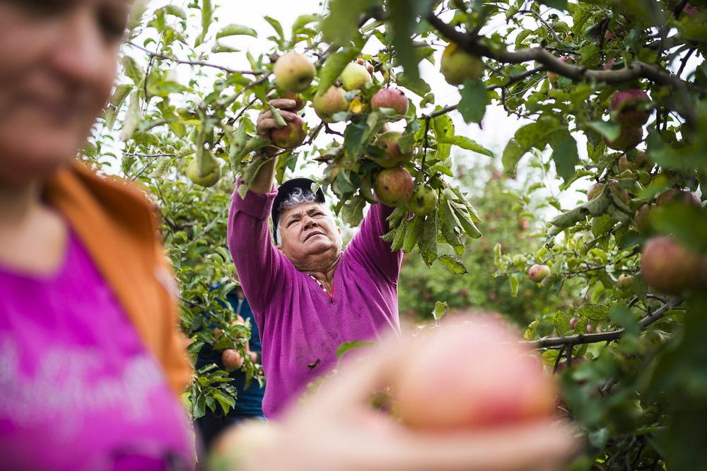 alma-almafa-almaszuret-kerteszet
