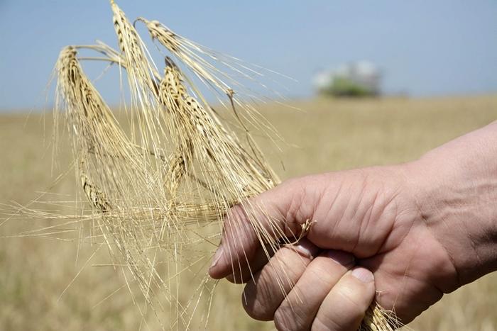 aratás_ősziárpa_árpa bioárpa