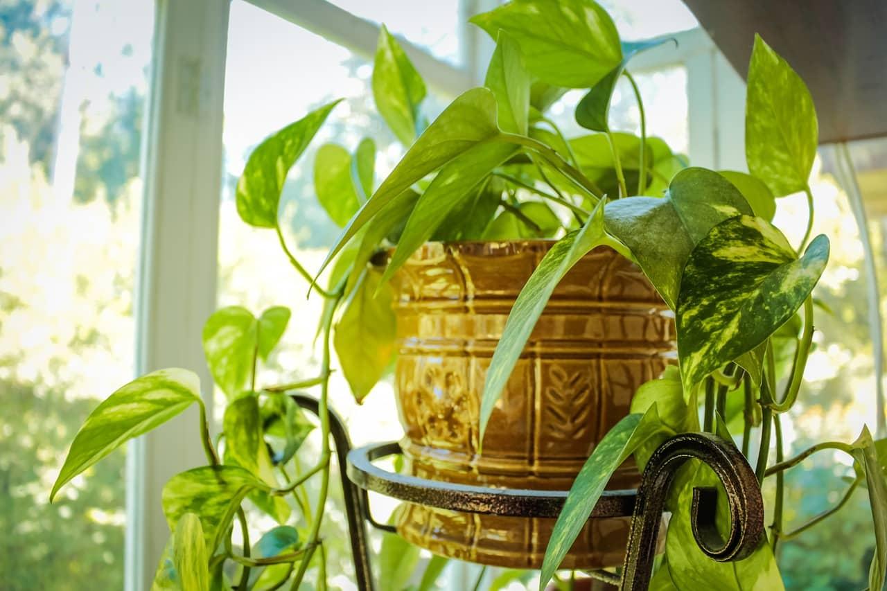 Szobanövények leveleinek tisztítása