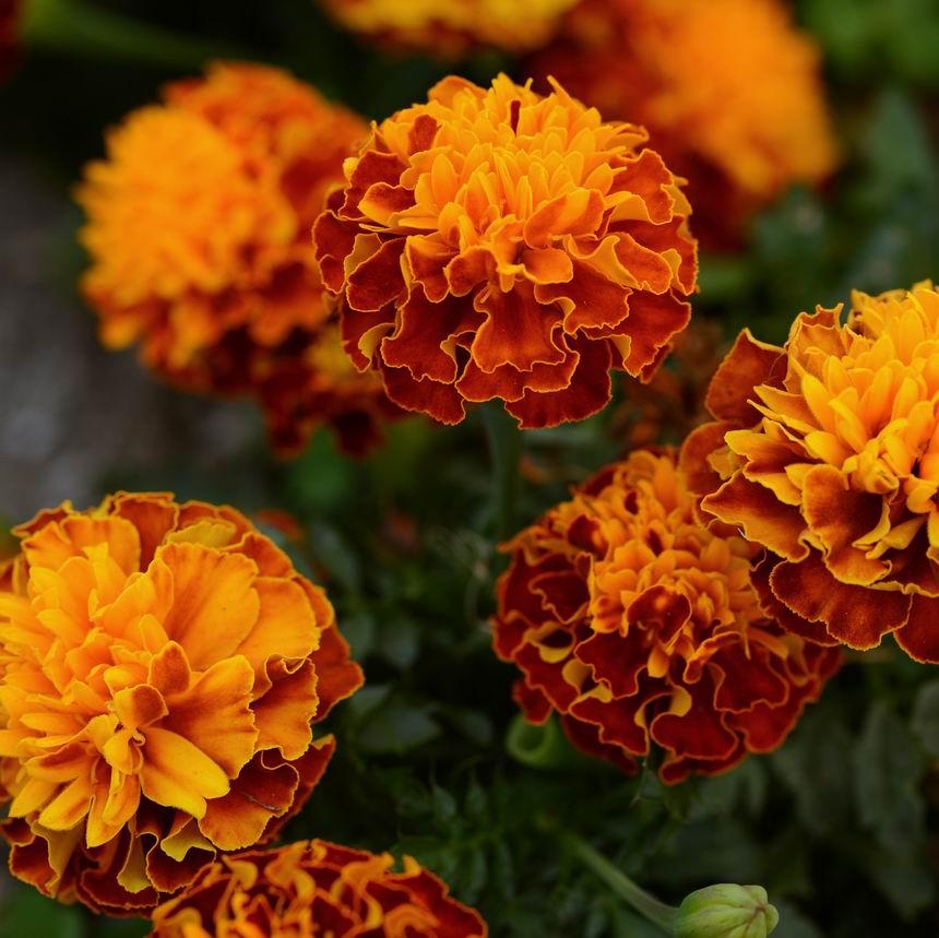 büdöske - bársonyvirág