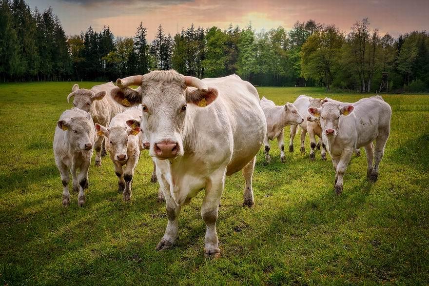 cows 6349499 960 720