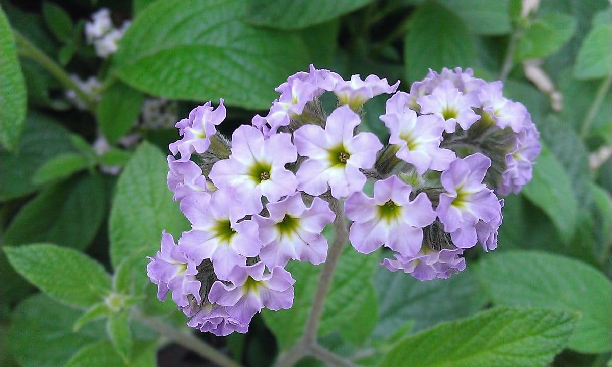 kerti vaníliavirág