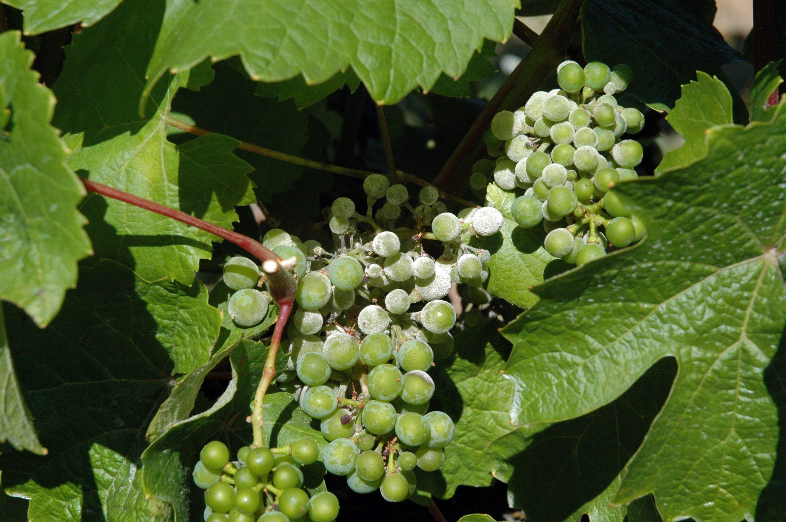 szőlő lisztharmat
