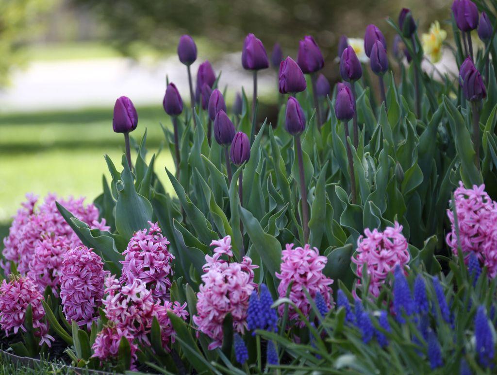 tulipán, jácint