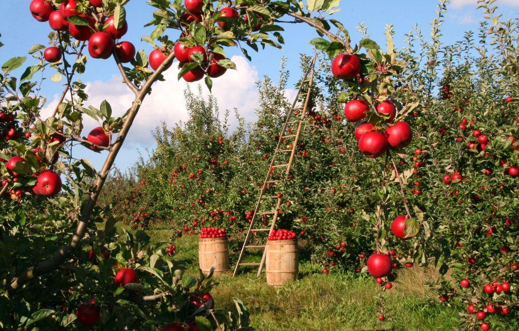 almaültetvény