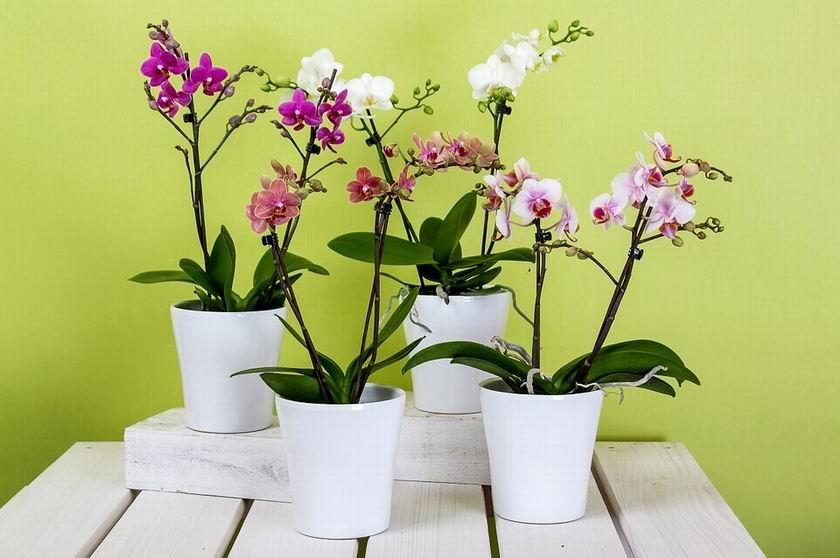 Orchidea cserép