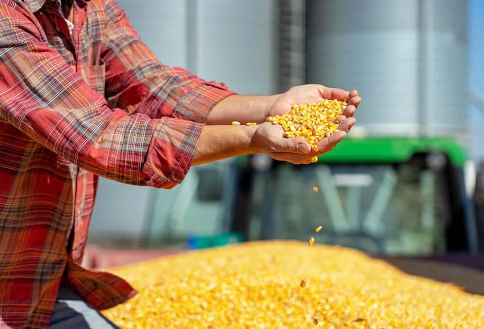 kukorica-vetőmag