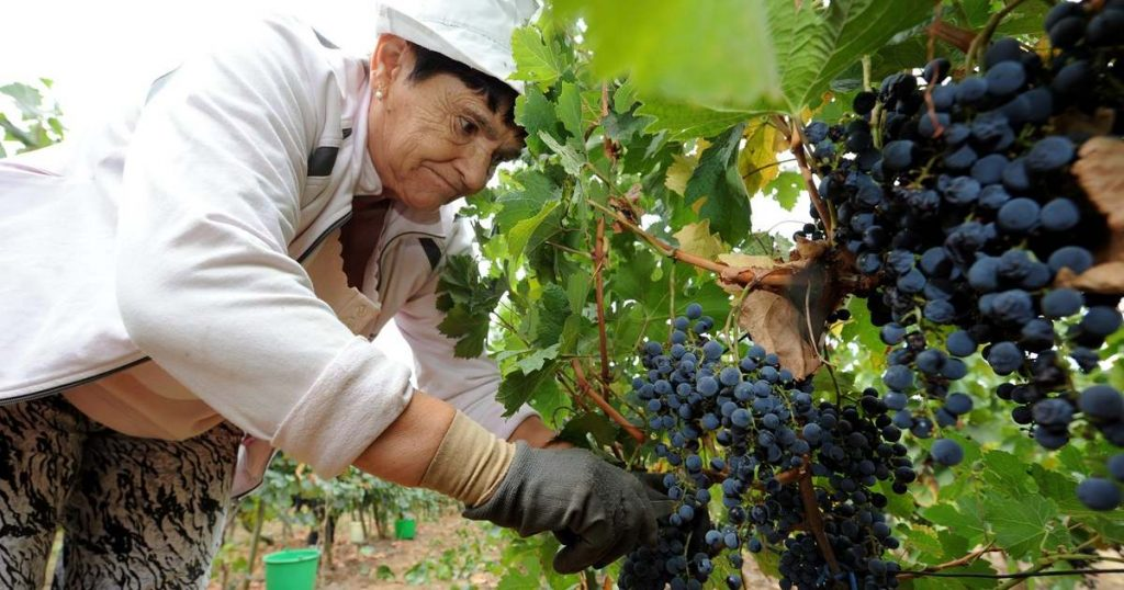 szőlő szüret