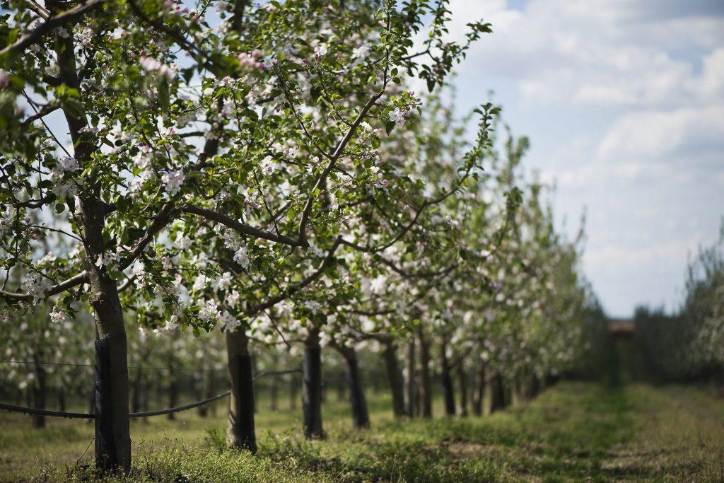 gyumolcsos almafa kerteszet