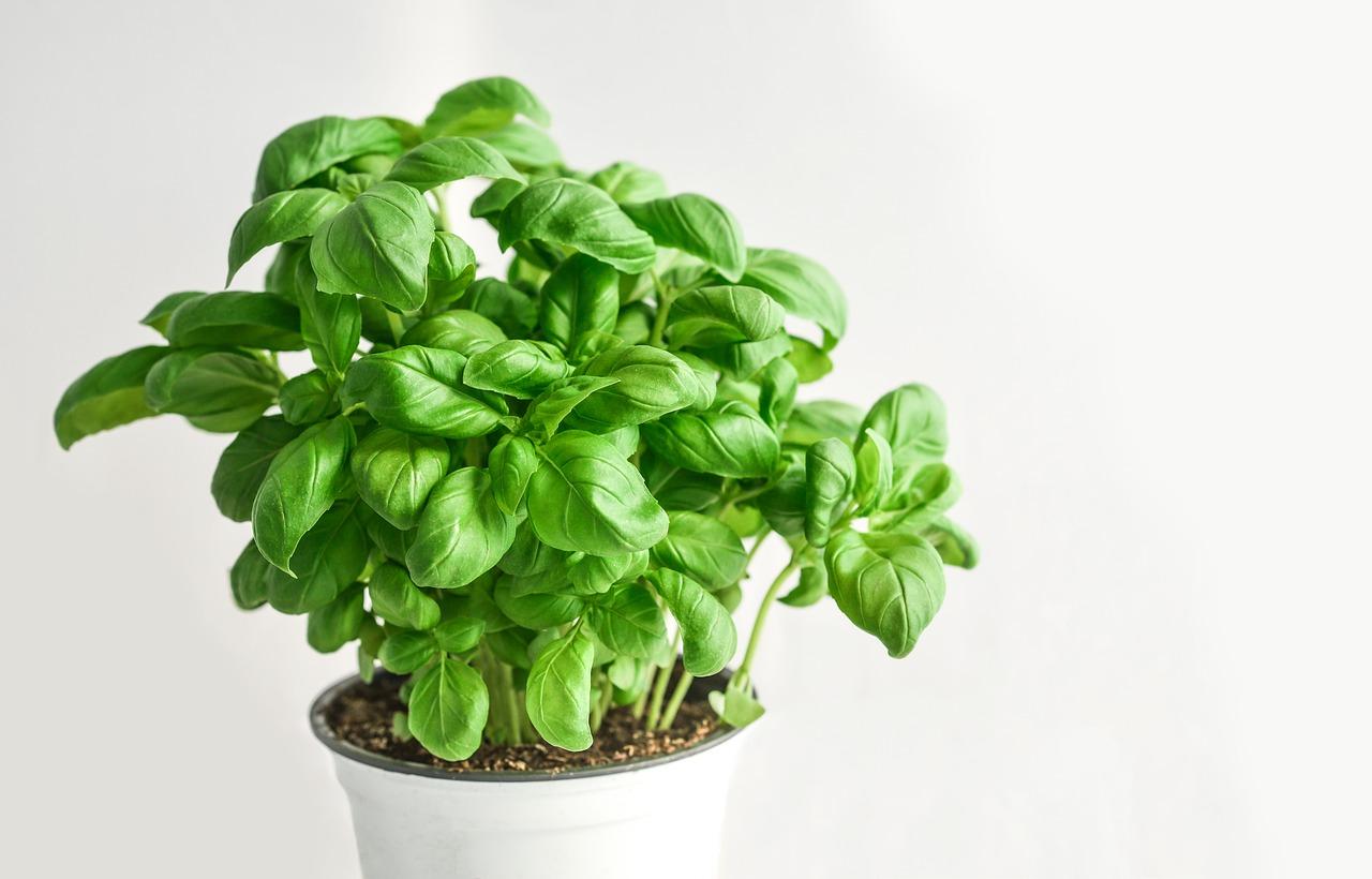 Bazsalikom: Tippek a házi termesztéséhez