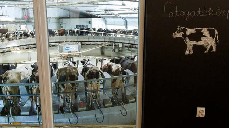 állattenyésztés tehén tehenészet szarvasmarha