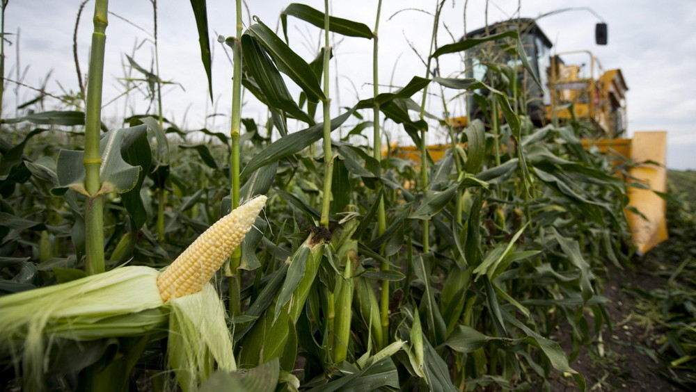 Csemegekukorica kukorica