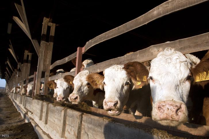 marha tehén magyartarka szarvasmarha