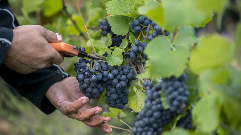 szüret szőlő szőlészet Pinot noir villány