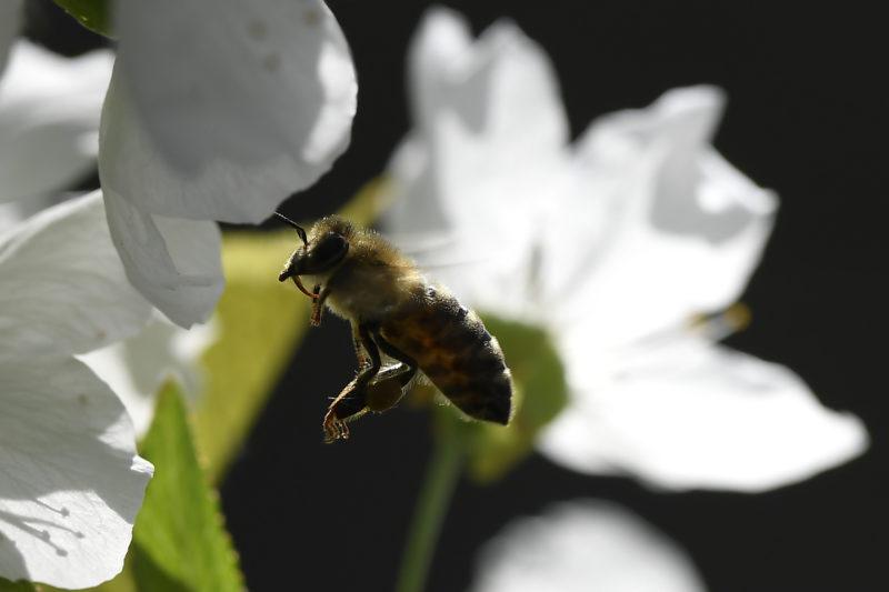 Virágport gyûjtõ méh méh-virágpor