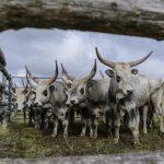 Pályázat védett őshonos állatfajták tenyésztésére